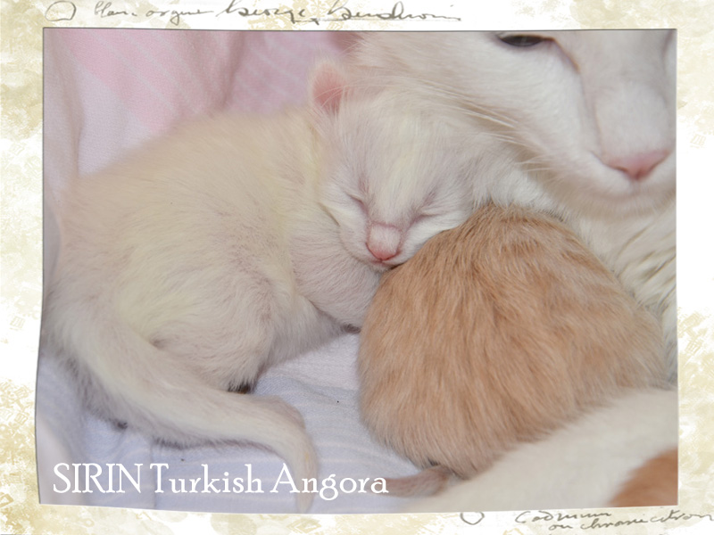 SIRIN Turkish Angora